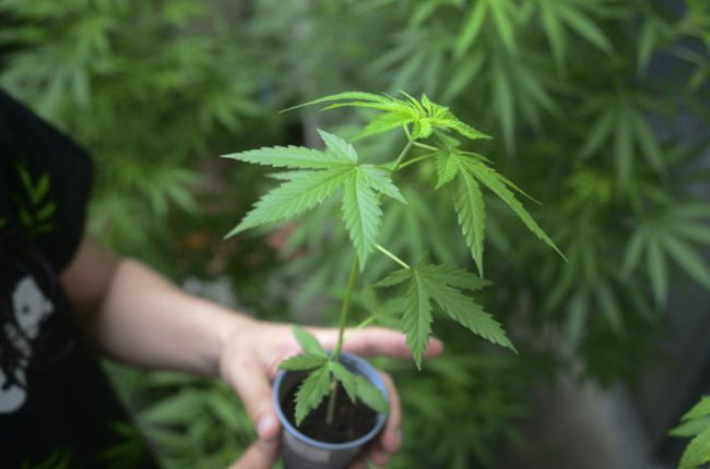 El Gobierno de México está contemplando legalizar la marihuana para uso medicinal y recreativo.