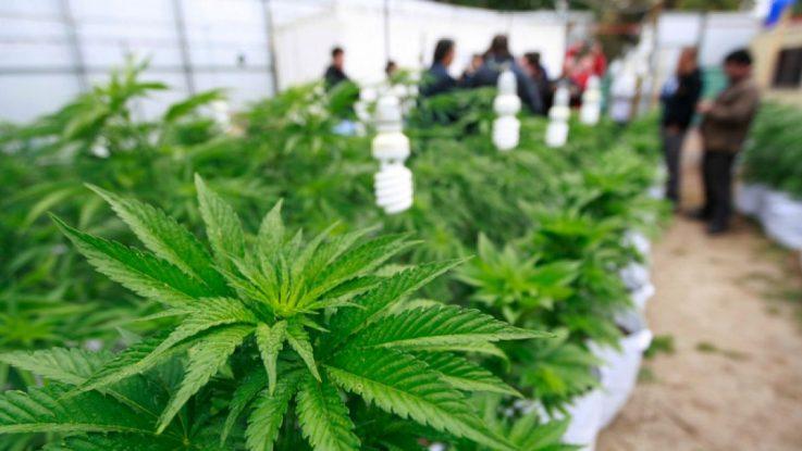 Planta cannabis