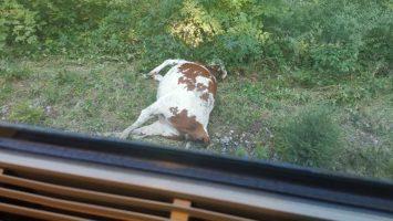 vacas muertas