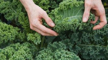 Los beneficios del Kale en la dieta pandémica